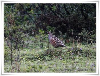 Szechenyi's Monal-Partridge (Tetraophasis szechenyii) ©Ross-Flickr