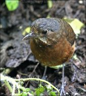 Moustached Antpitta (Grallaria alleni) by Ian