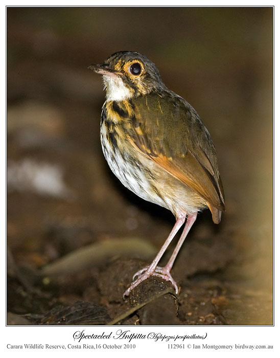 Streak-chested (Spectacled) Antpitta (Hylopezus perspicillatus) by Ian