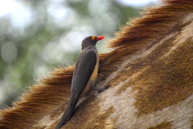 Red-billed Oxpecker (Buphagus erythrorhynchus) on Giraffe©©