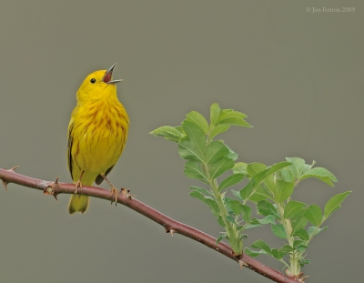 American Yellow Warbler (Setophaga aestiva) singing by J Fenton