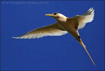 White-tailed Tropicbird (Phaethon lepturus) by Ian