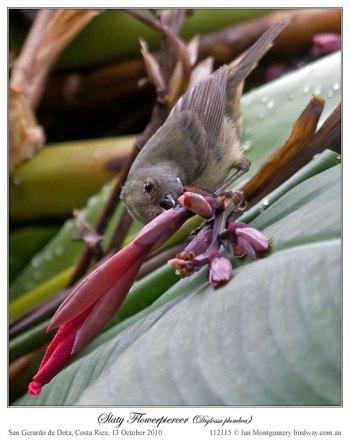 Slaty Flowerpiercer (Diglossa plumbea) by Ian