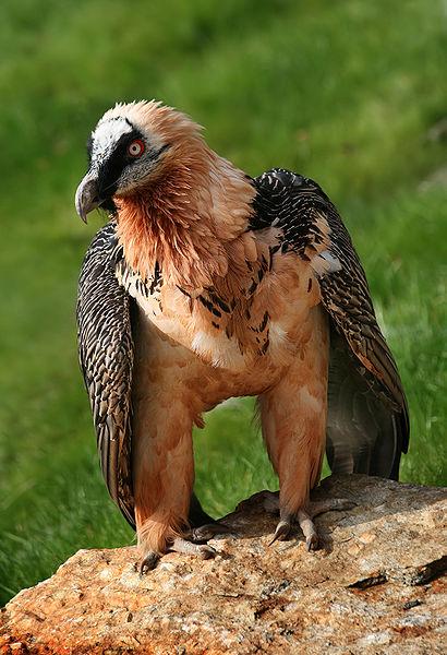 Bearded Vulture (Gypaetus barbatus) ©WikiC