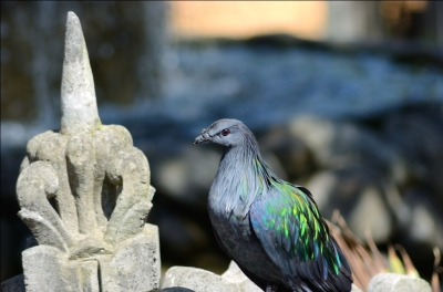 Nicobar Pigeon at Lower Park Zoo by Dan