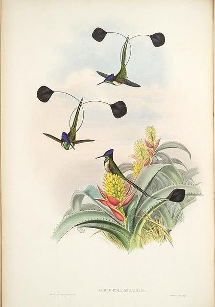 Marvelous Spatuletail (Loddigesia mirabilis) ©WikiC-Gould_Troch._pl._161