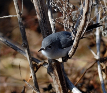 Blue-gray Gnatcatcher by Dan at Circle B Bar Reserve
