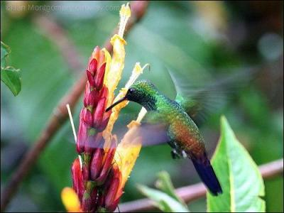 Copper-rumped Hummingbird (Amazilia tobaci) by Ian