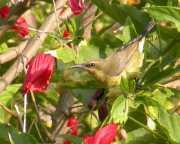 Copper Sunbird (Cinnyris cupreus) ©WikiC female