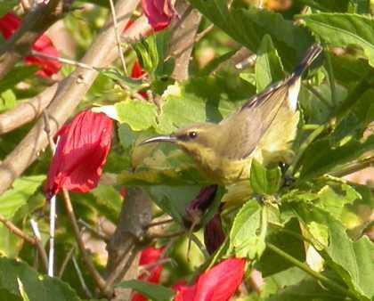 Cupreus Cupreus Cupreus ©wikic Female