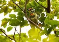 Coppersmith Barbet (Megalaima haemacephala) ©©fveronesi1