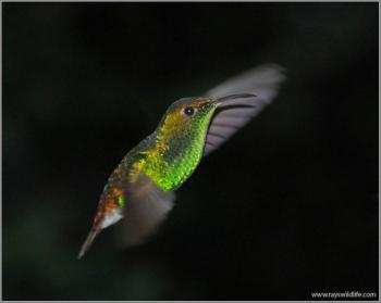 Coppery-headed Emerald by Ray
