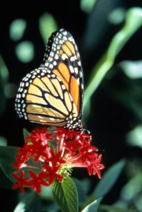 Monarch Butterfly at the Butterfly World©©