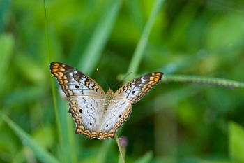 White Peacock Butterfly by Herman1944