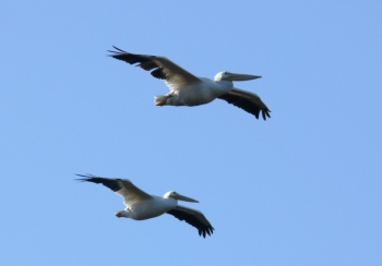 American White Pelican (Pelecanus erythrorhynchos) by Lee