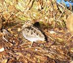 Wilson's Snipe at Circle B by Lee