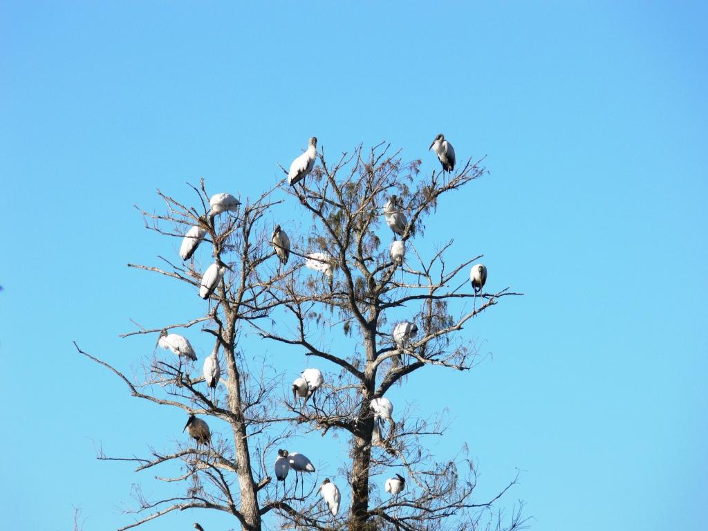 Wood Stork (Mycteria americana) by Lee