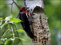 Red-breasted Sapsucker (Sphyrapicus ruber) by Ian