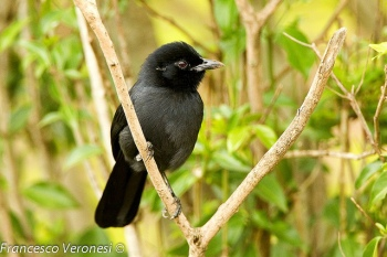 Slate-colored Boubou (Laniarius funebris) ©©
