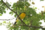 Common Iora (Aegithina tiphia) by MAMuin