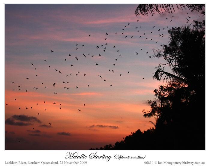 Metallic Starling (Aplonis metallica) by Ian