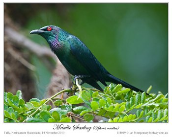 Metallic Starling (Aplonis metallica) by Ian