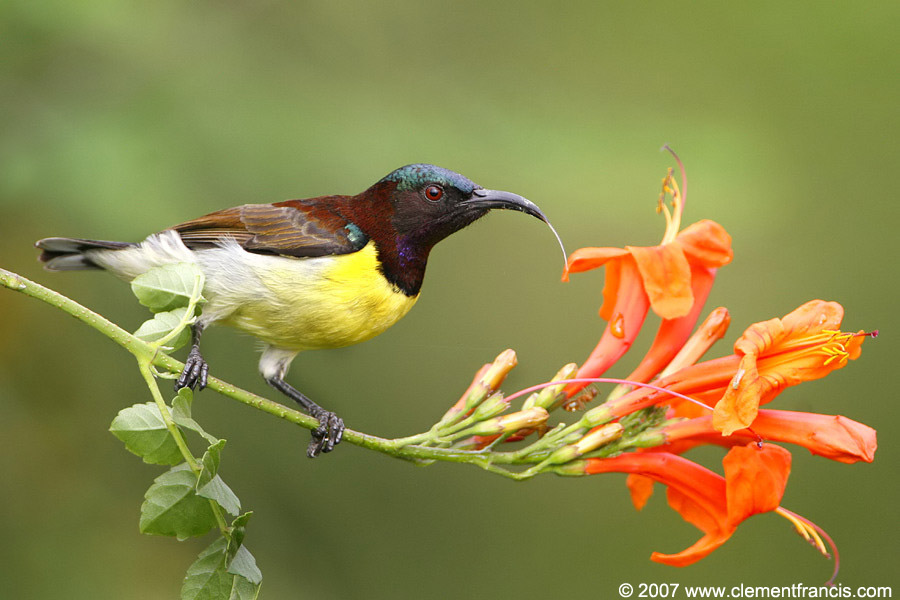 Purple-rumped Sunbird (Leptocoma zeylonica) by Clement Francis