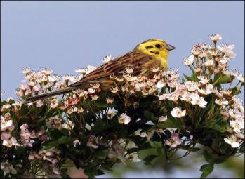 Yellowhammer (Emberiza citrinella) by Ian