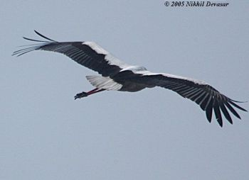 White Stork (Ciconia ciconia) by Nikhil Devasar