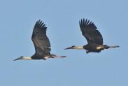 Woolly-necked Stork (Ciconia episcopus) by Nikhil Devasar