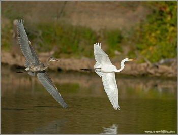 Great Blue Heron (Ardea herodias) chasing Western Great Egret (Ardea alba) by Ray