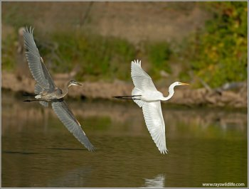 Great Blue Heron (Ardea herodias) chasing Western Great Egret (Ardea alba) by Ray