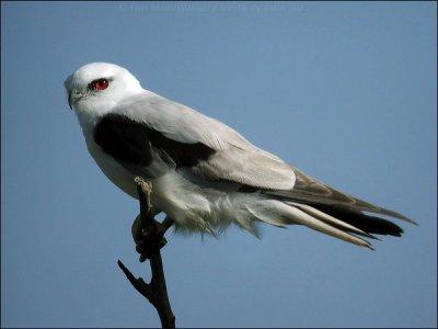 Black-shouldered Kite (Elanus axillaris) by Ian
