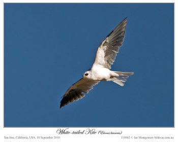 White-tailed Kite (Elanus leucurus) by Ian