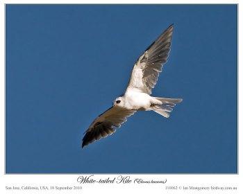 White-tailed Kite (Elanus leucurus) by Ian
