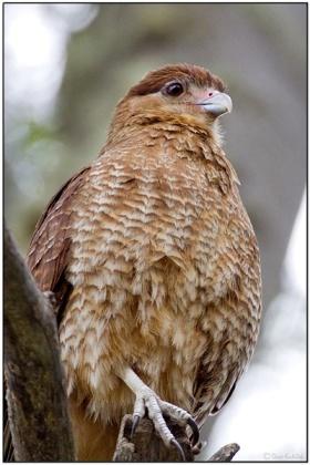 Chimango Caracara by Daves Birding Pix