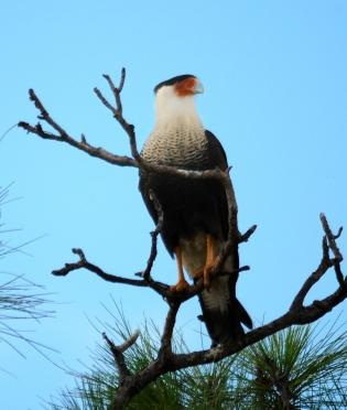 Northern Crested Caracara (Caracara cheriway) by Dan at Viera Wetland