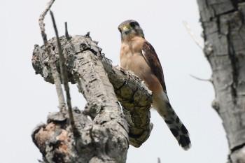 Seychelles Kestrel (Falco araeus) by Bob-Nan