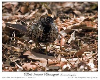 Black-breasted Buttonquail (Turnix melanogaster) by Ian