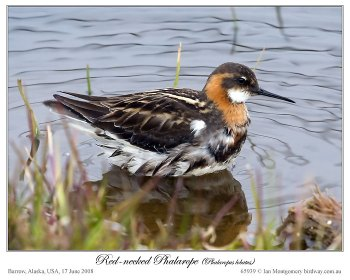 Red-necked Phalarope (Phalaropus lobatus) by Ian
