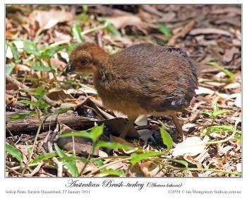 Australian Brushturkey (Alectura lathami) by Ian
