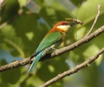 Chestnut-headed Bee-eater (Merops leschenaulti) by Nikhil Devasar