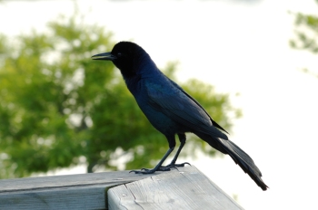 Boat-tailed Grackle at S. Lk Howard 2008 by Lee