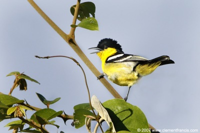 Common Iora (Aegithina tiphia) by Clement Francis