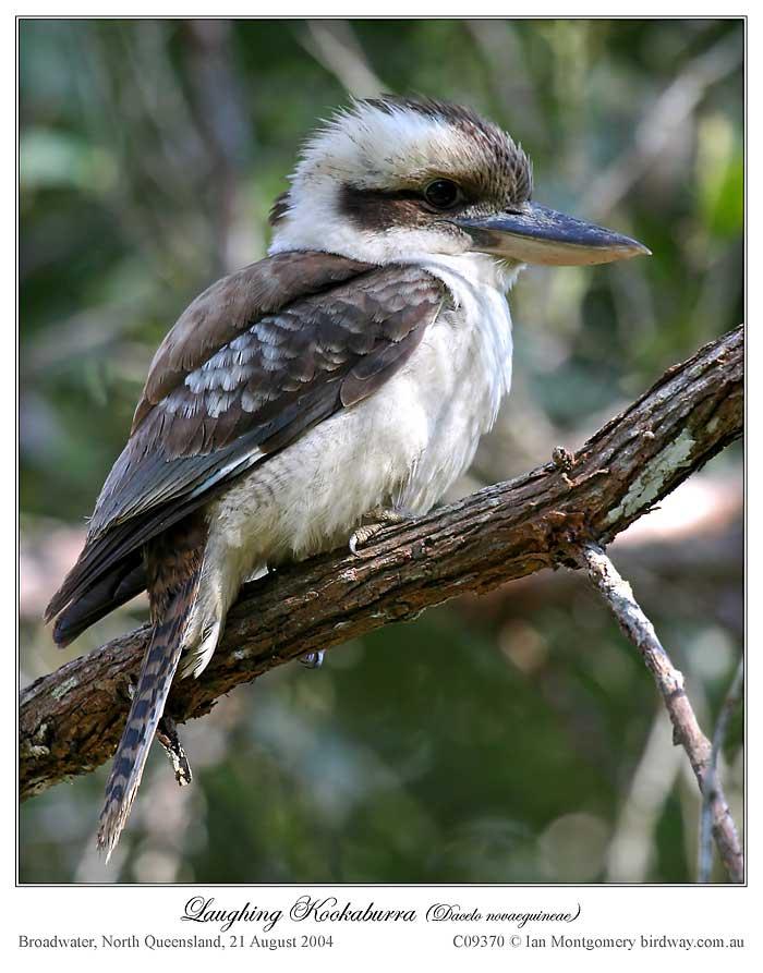 Laughing Kookaburra (Dacelo novaeguineae) by Ian