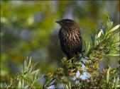 Red-winged Blackbird (Agelaius phoeniceus) female by Ian