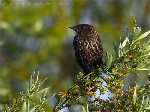 Red-winged Blackbird (Agelaius phoeniceus) female by Ian