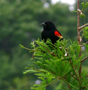 Red-winged Blackbird at S. Lake Howard Nature Pk. by Lee