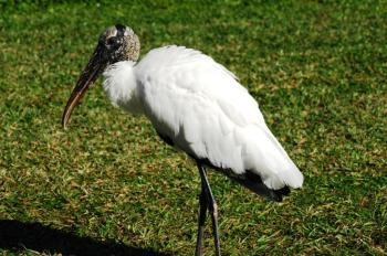 Wood Stork by Dan at Lake Morton Jan 2011