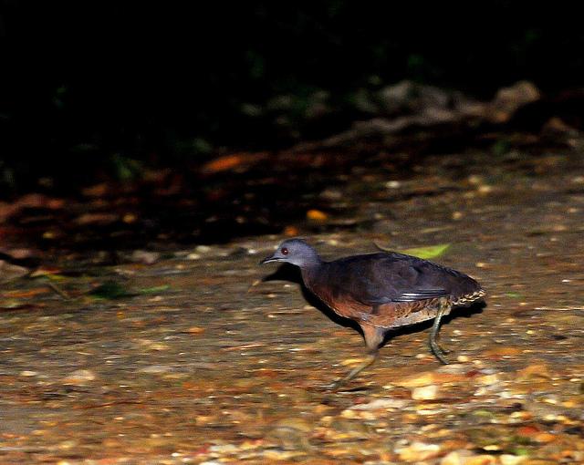 Brown Tinamou (Crypturellus obsoletus) by Dario Sanches